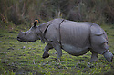 India, Kaziranga National Park, Indian rhinoceros or Great One-horned Rhinoceros or the Asian One-horned Rhinoceros (Rhinoceros unicornis) walking across meadow;<br /> Found in Nepal and in Assam, India. It is confined to the tall grasslands and forests in the foothills of the Himalayas