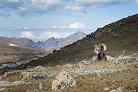 Single Bighorn Sheep Ram with view of Rocky Mountains
