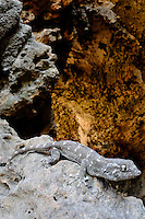 A Socotran Leaf-toed Gecko (Haemodracon riebecki) on the rocks at the entrance of a cave, Socotra, Yemen.