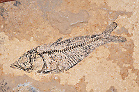 Knightia alta fish fossil in Green River Shale, Eocene, Green River Formation, Wyoming, USA.