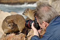 Man taking photograph of Rock Hyrax (Procavia capensis), close-up - Hermanus, South Western Cape, South Africa