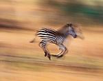 Burchell's Zebra, Lake Ndutu region, Tanzania