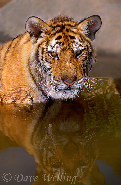 684089296 a juvenile siberian tiger panthera tigris altaicia relaxes in a small pond - tigers are one of only two felines that like water and they are highly endangered in their native habitat due to habitat loss and poaching mainly for the chinese medicine trade - this is a wildlife rescue animal