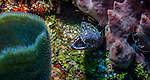 Spotted moray ell (Gymnothorax moringa) on reef; West End, Roatan, Honduras.