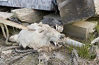 Native Alaska Inupiaq subsistence hunting remnants near a home in Utqiagvik (Barrow), Alaska.