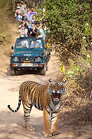 Tourists watch female Bengal tiger, Panthera tigris tigris, in Ranthambore National Park, Rajasthan, India