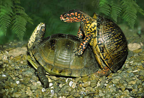 Curves: Two three-toed box turtles making eye contact while mating, Midwest USA