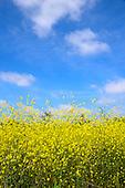 Stock Photos of Beautiful field of Mustard Plants