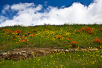 California poppies and Field mustard on a hill above the bike trail along the California Aqueduct near the Bethany Reservoir.