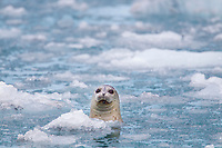 Harbor seal peeks out of the icy waters of Nellie Juan Lagoon in Prince William Sound, southcentral, Alaska.