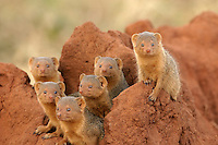 Dwarf Mongoose (Helogale Parvula), family in Termite mound, all looking at camera. Tarangiri NP, Tanzania