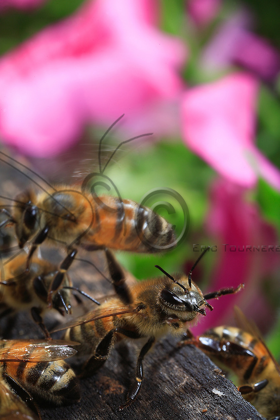 A guard on the flight board, braced on its hind legs, its checks a returning forager to make sure it belongs to the colony. This position of the guard expresses potential danger. The bees have a keen sense of smell allowing them to identify each other.