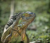 Close view of head of a Green Iguana, an invasive lizard native to Central America
