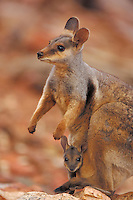 Tammar Wallaby (Macropus eugenii), female with young in pouch, Kangaroo Island, Australia