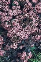 Sedum similar to Black Beauty (Vera Jameson) in flower with dark purple foliage