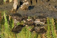 559500005 common gallinules gallinula galeata or common moorhens gallinula chloropus wild texas.Chicks in Pond.Anahuac National Wildlife Refuge, Texas