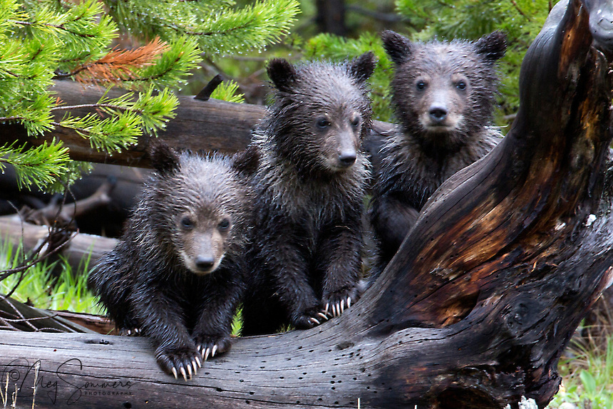 These triplet spring grizzly (Ursus arctos horribilis)cubs are wet with dew and paused in their play with each other just barely long enough to snap the shot!