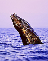 humpback whale, Megaptera novaeangliae, newborn calf breaching under golden light at sunset, Hawaii, USA, Pacific Ocean