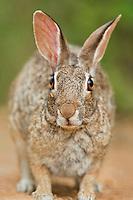 673280038 porarait of a wild desert cottontail rabbit sylilagus audubonii in the rio grande valley texas united states