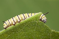 Monarch Butterfly (Danaus Plexippus) - Caterpillar (larva) 4th instar feeding on a Milkweed plant leaf, Ward Pound Ridge Reservation, Cross River, Westchester County, New York