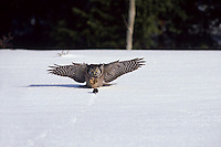 A Northern Hawk Owl (Surnia ulula) striking at mouse running across the snow, Michigan