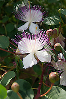 Salina, Eolian Islands, Italy, June 2006. Wild capers blooming. The best capers come from the Eolian Islands. The Volcanic Eolian Islands of Southern Italy offer a spectacular landscape for trekking while staying in picturesque towns. Photo by Frits Meyst/Adventure4ever.com