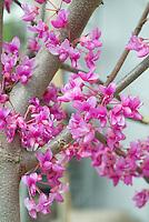 Cercis canadensis Eastern Redbud tree in pink spring flowers