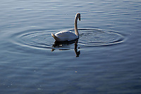 Cigni. Swans...