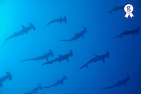 School of scalloped hammerhead sharks (Sphyrna lewini) underwater view (Licence this image exclusively with Getty: http://www.gettyimages.com/detail/200476771-001 )