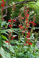 Lobelia cardinalis Cardinal Flower wild