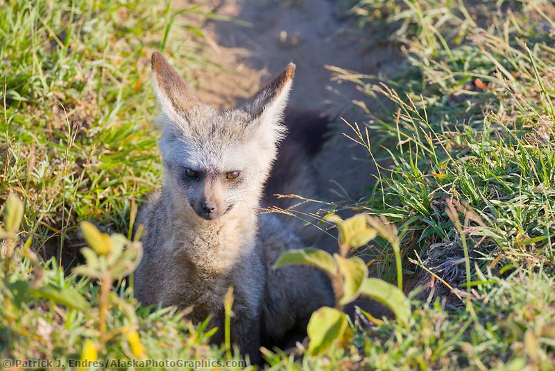 Bat-eared fox, Serengeti National Park, Tanzania, East Africa