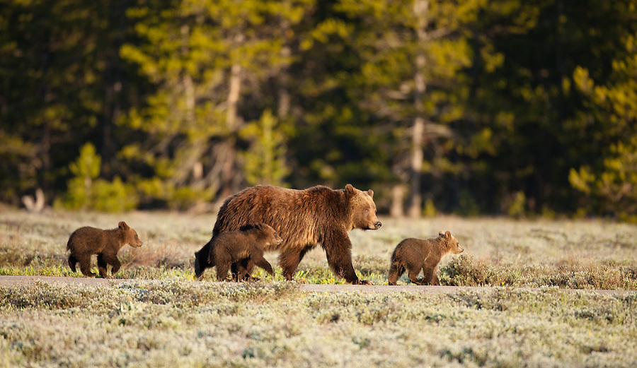 A female grizzly bear and her cubs walk in a grassy plain at the edge of the forest.