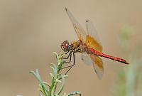 362700039 male band-winged meadowhawk sympetrum semicintum wild california