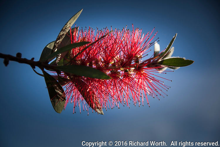 Crimson bottlebrush, Callistemon citrinus, is not native to California, but it provides a brilliant red and green subject against the blue sky in my own back yard.