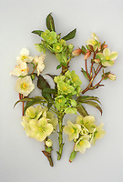 Helleborus niger hybrids GR20921 in various shades of yellowish flowers, on white background, floral arrangement of cut blooms