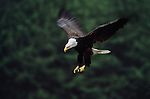 Bald eagle, Tongass National Forest, Alaska