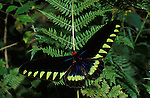 Tropical birdwing swallowtail butterfly Trogonoptera trojana