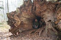 """Uralte, riesige, umgestürtzte Eiche im Solling, Weserbergland, """"Donnereiche"""", Kind als Größenvergleich, Quercus, Oak"""