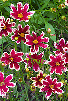 Coreopsis Cranberry Ice tickseed in red flowers with white cream picotee