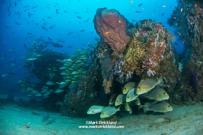 Gold-spotted Sweetlips, Plectorhinchus flavomaculatus, along with other sweetlips and snapper species, gather near a coral and sponge-encrusted overhang. Andaman Islands, Andaman Sea, India, Indian Ocean