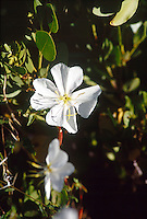 MEDICINAL PLANTS<br /> Evening Primrose (Oenothera sp)<br /> Family Onagraceae. Used as an astringent and sedative