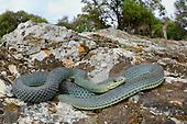 Montpellier Snake (Malpolon monspessulanus), Croatia.