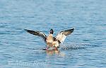 Red-breasted Merganser (Mergus serrator), male landing on water, Aurora, New York, USA