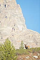 Trophy Bull Elk, Grand Teton, Jackson Hole, Wyoming