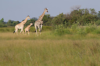 A giraffe family walking through the tall grass, Botswana, Africa