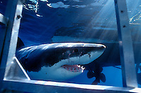 Great White Shark  (Carcharodon carcharias) swims past shark cage  off Guadalupe Island, Mexico.  Photo Copyright Protected &copy; Dale Sanders / www.dalesanders.info  All Rights Reserved.
