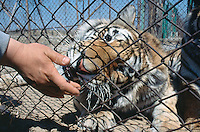 China. Province of Heilongjiang. Harbin. Siberia Tiger Park. A tiger licks the hand of the park's coach. © 2004 Didier Ruef