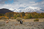 Idaho, East Central, Mackay. Horses graze beneath the snow capped mountains of the Lost River Range in autumn.
