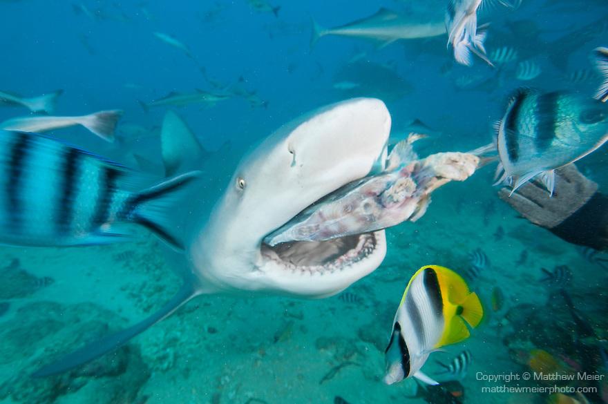 Beqa Lagoon, Pacific Harbor, Fiji; a Bull Shark feeding on a fish head as part of a shark feeding dive