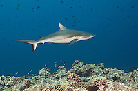 These sharks are generally not dangerous but have been known to attack in open water, when in a feeding frenzy or when cornered, Palau Micronesia. (Photo by Matt Considine - Images of Asia Collection)